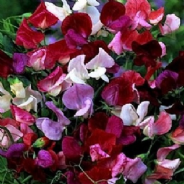 Sweet Pea - Old Spice - Mix - 40 seeds